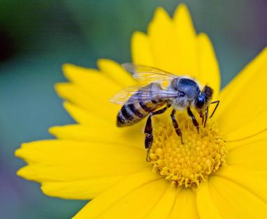 Honeyonyellowflower