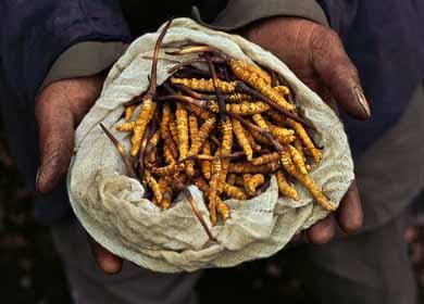 Yarsagumba Harvest